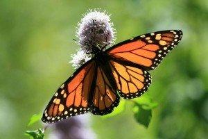 Evolution dans Loisirs papillon-59-300x200